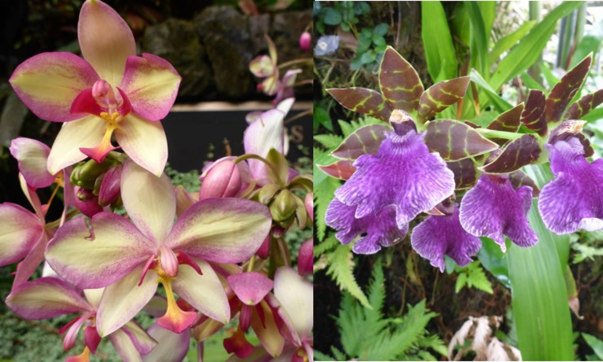 North Shore Orchid Society